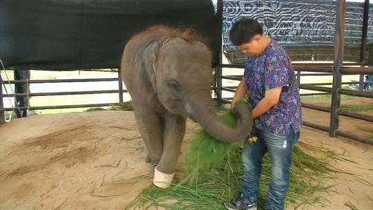 Filhote de elefante com prótese em pata ganha novo lar na Tailândia
