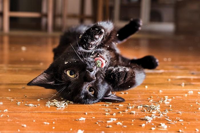 Gato Raisin (Foto:  Gato Raisin (Foto: Andrew Mattila))