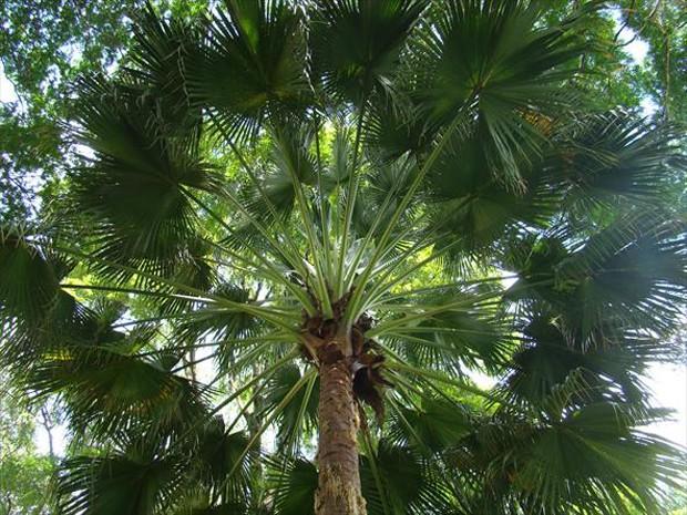árvore de carnaúba
