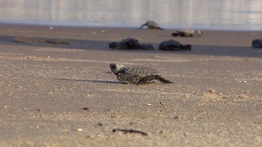 Projeto Tamar anuncia marca de 40 milhões de tartarugas protegidas e soltas no mar