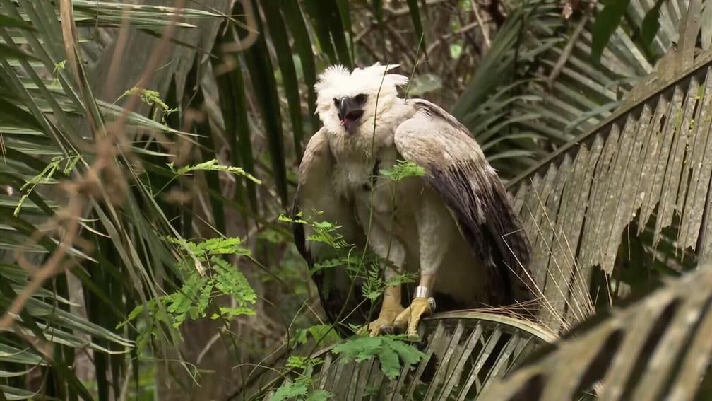 Filhote de harpia voa após ser solta em Ariquemes, RO — Foto: Rede Amazônica/Reprodução