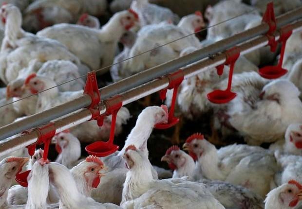Galinhas são fotografadas em uma fábrica de aves na cidade de Lapa, Paraná ; frango ; exportação de carne ;  (Foto: Rodolfo Buhrer/Reuters)