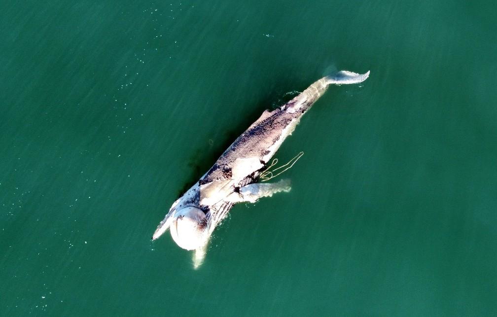 Baleia-jubarte com material de pesca preso ao corpo foi avistada morta em Florianópolis  — Foto:  Emanuel Ferreira/R3 Animal