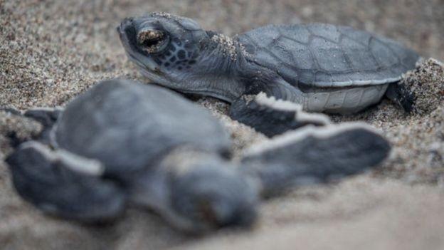 Pescadores tentaram tirar as tartarugas enroscadas na rede, mas todas morreram (Foto: Getty Images via BBC)