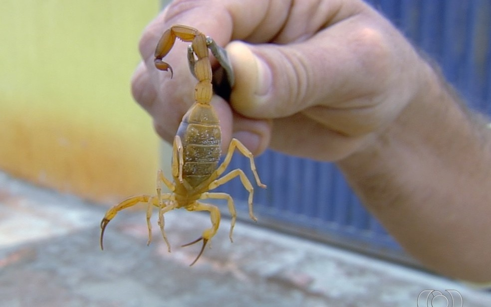 Escorpião capturado; em imagem de arquivo — Foto: TV Anhanguera/Reprodução