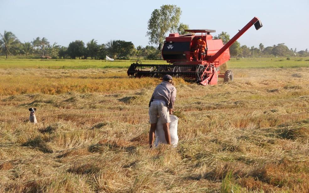 Começou colheita de arroz no Baixo São Francisco (Foto: Frederico Celente/Codevasf)