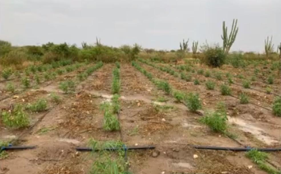 Plantação foi encontrada em Monte Santo — Foto: Reprodução/TV Bahia