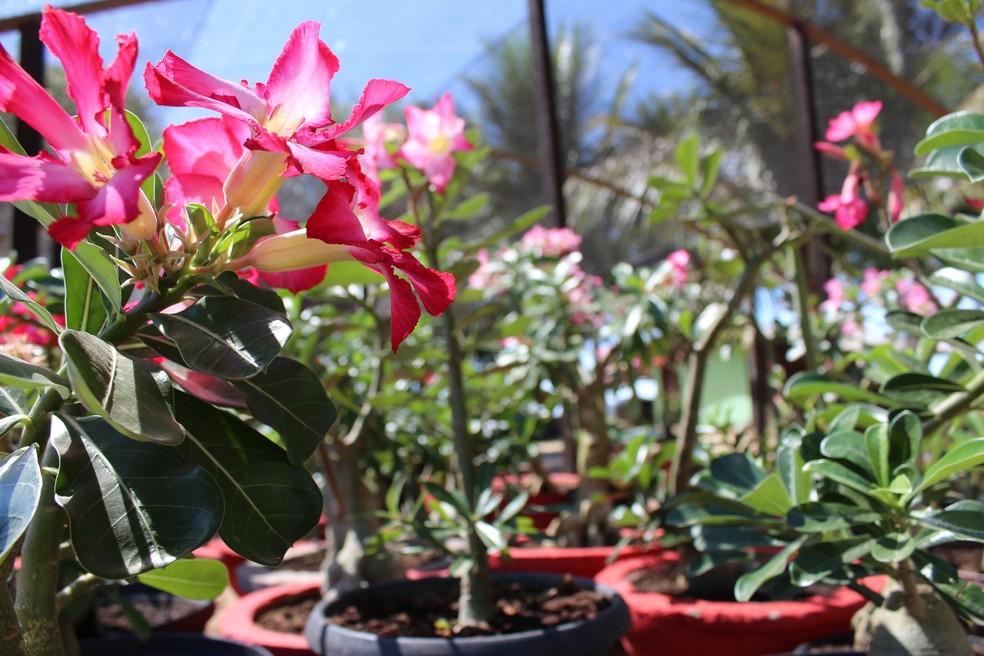 Rosas do deserto viraram fonte de renda para a agricultora (Foto: Cássia Firmino/ G1)