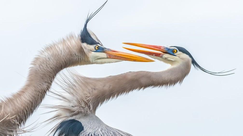 Melissa Rowell recebeu menção honrosa na categoria de amadores com a foto de um duelo entre duas garças, uma fêmea e um macho, na Flórida — Foto: Melissa Rowell/Audubon Photography Awards