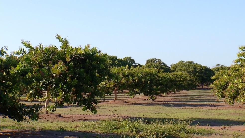 Paisagem das plantações de caju no RN começa a mudar (Foto: Reprodução/Inter TV Costa Branca)