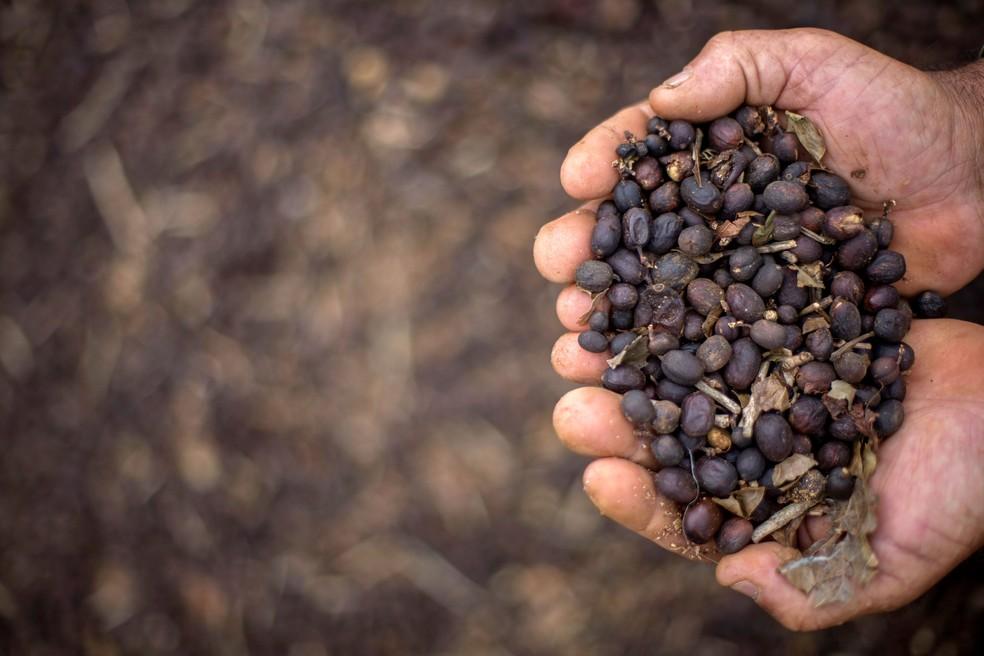 Fazendeiro mostra punhado de grão de café especial colhido em Minas Gerais, uma das principais regiões produtoras. — Foto: Mauro Pimental/AFP