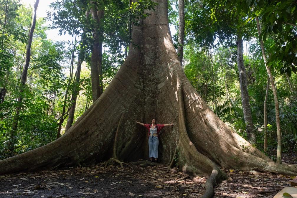 O tamanho da Samaúma, uma árvore da Floresta Nacional do Tapajós — Foto: Marcelo Brandt/G1