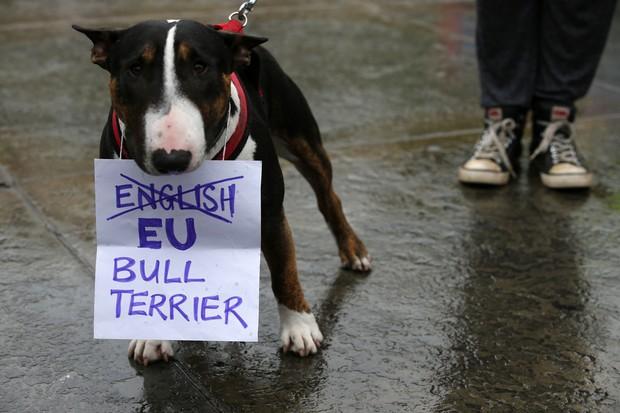 Após Brexit, 'English Bull Terrier' mudou nome para 'EU Bull Terrier' (Foto: Justin Tallis/AFP )