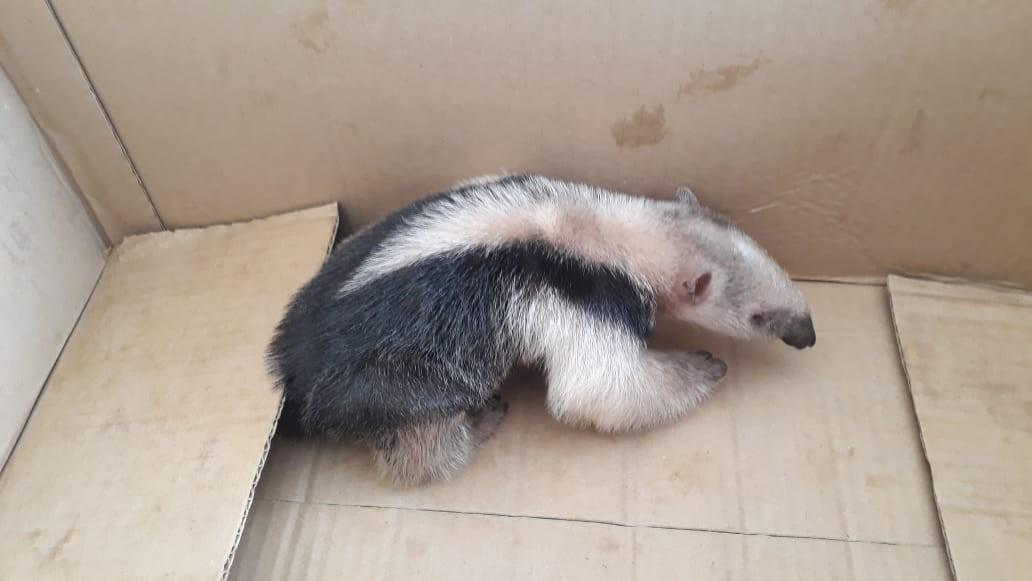 Filhote de tamanduá é resgatado em Santo Antônio de Pádua, no RJ  - Notícias - Plantão Diário