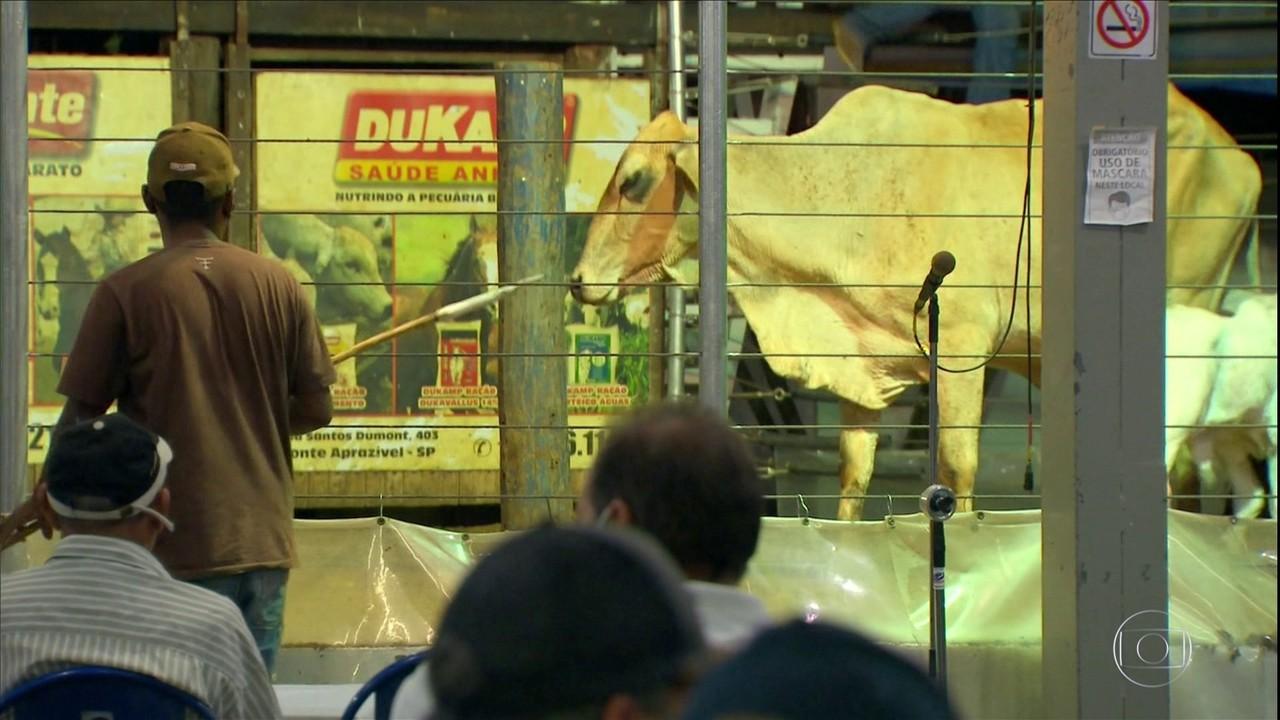 Leilões de gado reabrem ao público no noroeste paulista