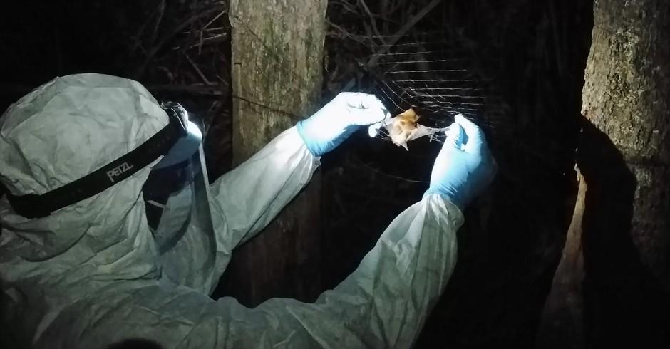 A equipe do projeto PREDICT coletou amostras de morcegos em campo nos países de Serra Leoa, Guiné e Libéria para descobrir mais acerca dos animais que podem servir como possíveis hospedeiros para vírus do Ebola  (Foto: Jaber Belkhiria/UC Davis)