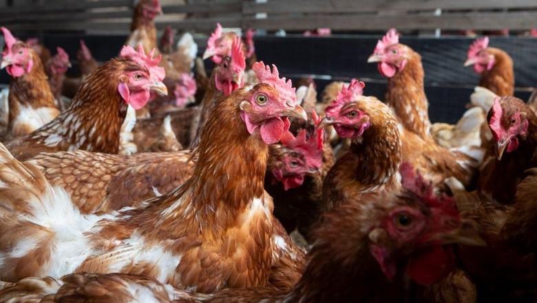 galinhas-granja-yamaguchi-bem-estar-animal (Foto: Fernando Martinho/Ed. Globo)