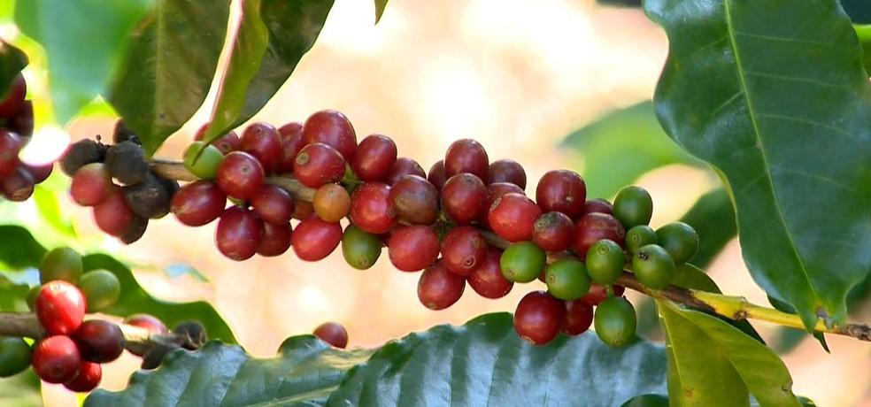 Frutos de café arábica  — Foto: Jornal do Campo/ ES