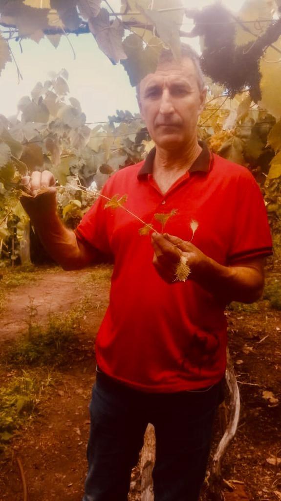 João Minuzzi mostra ramo de videira atingida pela deriva do 2,4-D (Foto: João Minuzzi/Arquivo Pessoal)