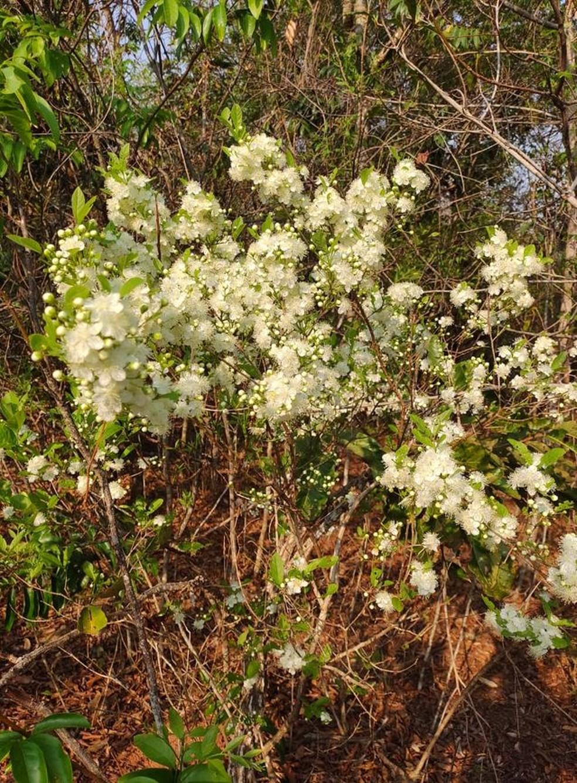 Flores são prenúncio da chegada do fruto do cerrado — Foto: Juliana Casadei/Arquivo Pessoal