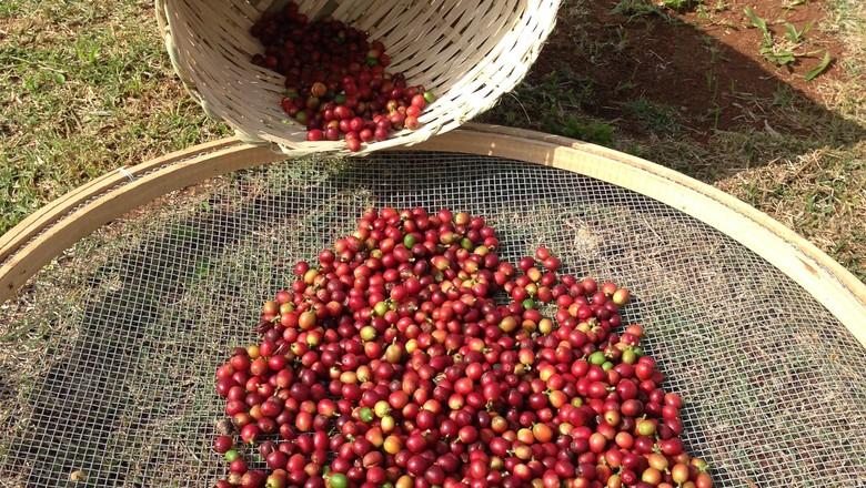 cafe-grao-cafezal-cafeicultura (Foto: Nathalia Fabro/ Editora Globo)