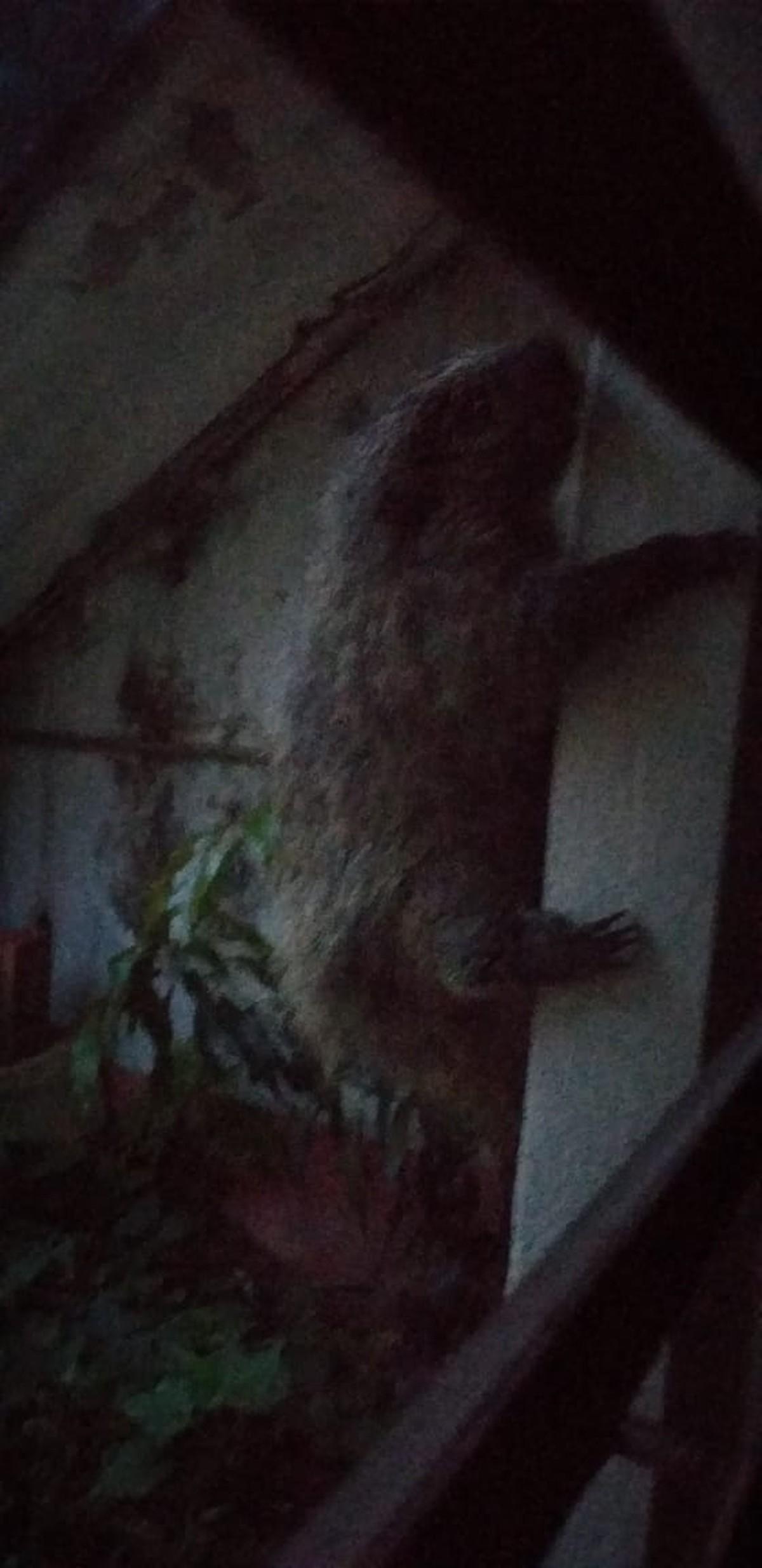 Porco-espinho 'invade' casa de Suzano e moradora busca ajuda para retirar animal - G1