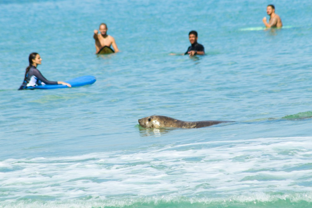 Elefante-marinho é visto nadando no mar do Arpoador — Foto: Agnes Dietrich/Arquivo pessoal