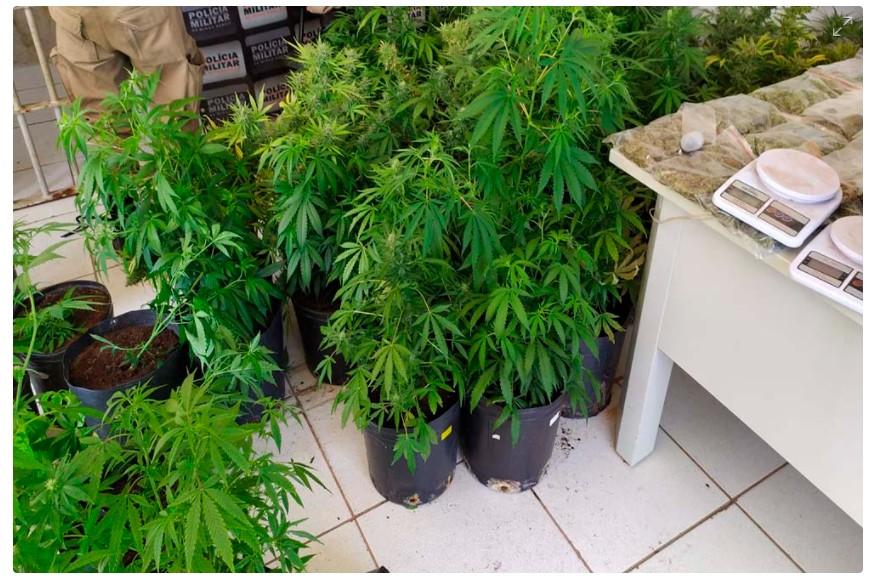 Polícia Militar prende homem suspeito de cultivar 50 pés de maconha na própria casa, em Alfenas