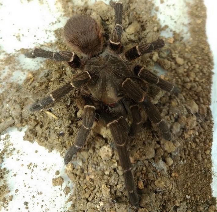 Acanthoscurria rondoniae ou tarântula de Rondônia (Foto: Erika S. Nishiduka)