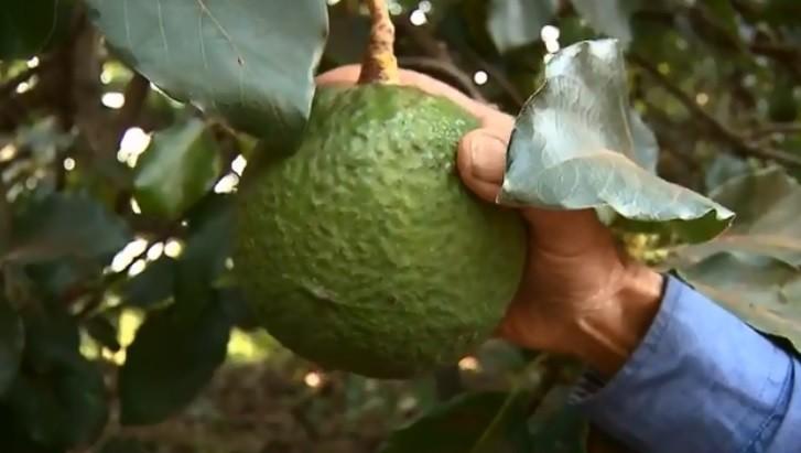 Variedade de abacate descoberta em Arapongas é batizada com nome da esposa de agricultor - Notícias - Plantão Diário