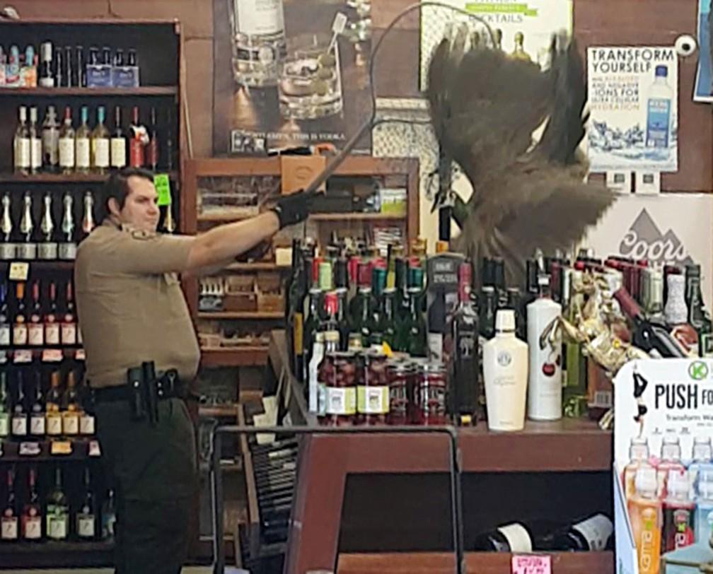 Pavoa invade loja de bebidas e quebra US$ 500 em garrafas nos EUA (Foto: Rani Ghanem via AP)
