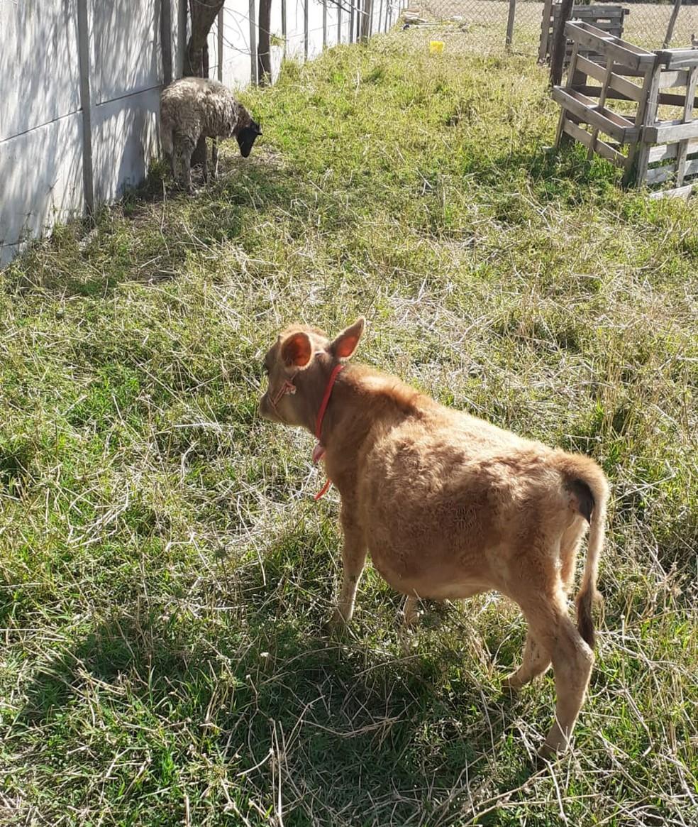 Pituchinha e seu amigo carneiro são inseparáveis, diz dono — Foto: Arquivo pessoal