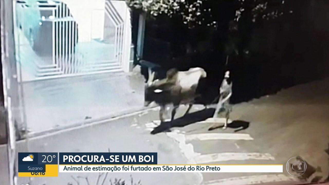 Boi de estimação é furtado, no interior de São Paulo.