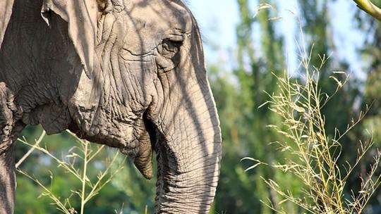 Foto: (Arquivo/Santuário de Elefantes do Brasil (SEB))