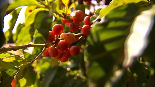 Cerca de 300 mil sacas de café devem ser colhidas em Garça até o fim do ano