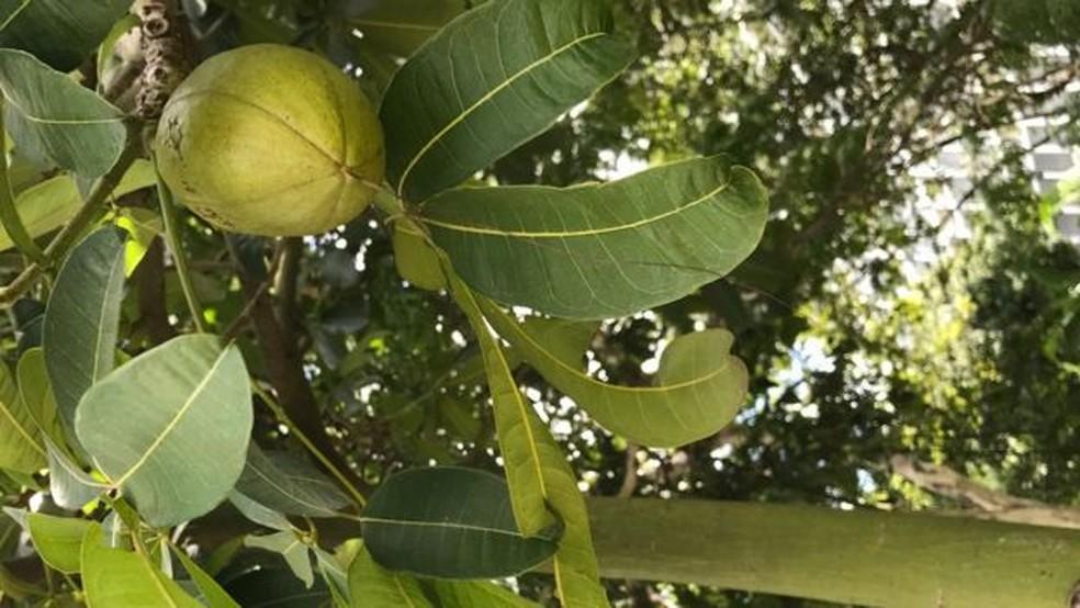 Tronco verde e frutos lenhosos ajudam a identificar pés de castanha-do-maranhão (Foto: BBC)