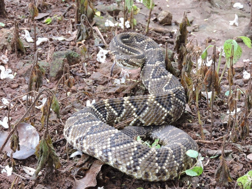 Cobra cascavel foi solta em uma reserva de cerrado, em Campo Grande (MS). — Foto: Roberto Pellizzer/Foto