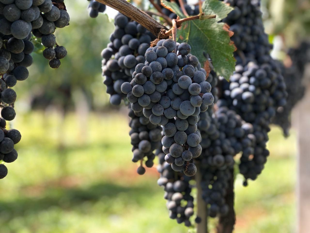 Qualidade das uvas colhidas nas unidades do Rio Grande do Sul impressiona e projeta 2ª edição da série dos Sete Lendários