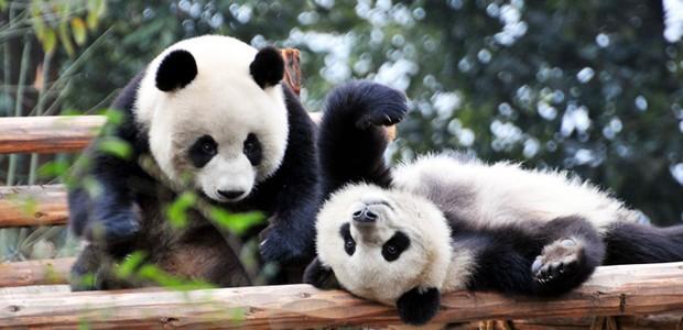 Chengdu é conhecida como a capital dos pandas gigantes. A cidade ganhou um projeto de urbanização para proteger a vida animal em contato com os humanos (Foto: China Discovery/ Reprodução)