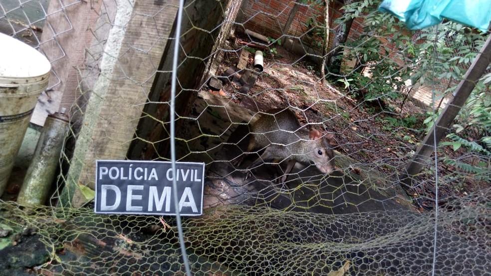 Cutia apreendida pela polícia era mantida em local e condições inapropriadas — Foto: Dema/Divulgação