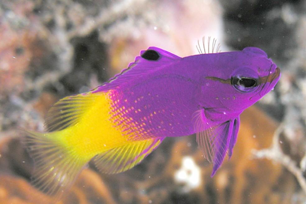 Peixe-royal-gramma é muito procurado por aquaristas por suas cores chamativas — Foto: Wikimedia