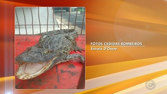 Jacaré é encontrado em tanque de sítio em Estrela D'Oeste