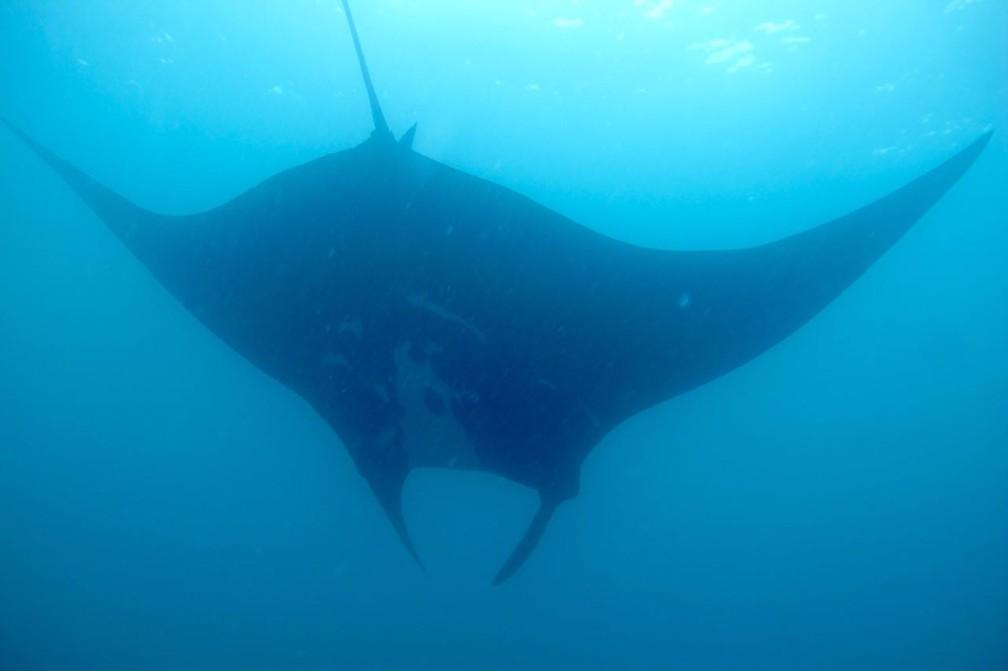 Raia permaneceu na superfície e foi vista até por pesquisadores que estavam no barco (Foto: Nauther Andrés/Projeto Mantas do Brasil)