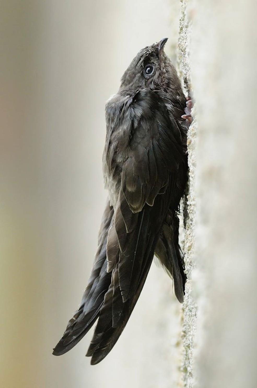 Diferente de outras aves, andorinhões não ficam empoleirados — Foto: Pedro Silva/Arquivo Pessoal