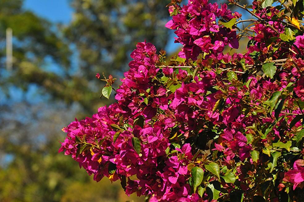 Primavera: nome da árvore faz referência à época da florada | Terra da  Gente | G1