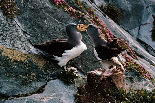 Chatham albatross, Thalassarche eremita, courting pair, Vulnerable species, Chatham Island, New Zealand. (Photo by: Auscape/Universal Images Group via Getty Images) (Foto: Universal Images Group via Getty)