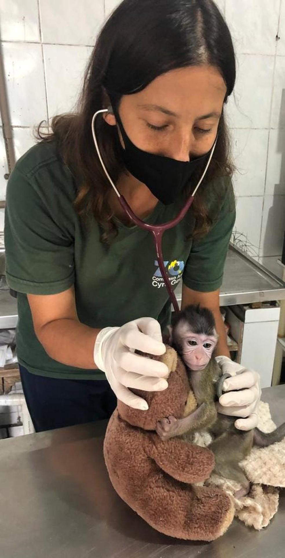 Samara cuida do animal durante o dia no zoológico e a noite em sua própria casa — Foto: Zoo do Complexo Cyro Gevaerd/Divulgação