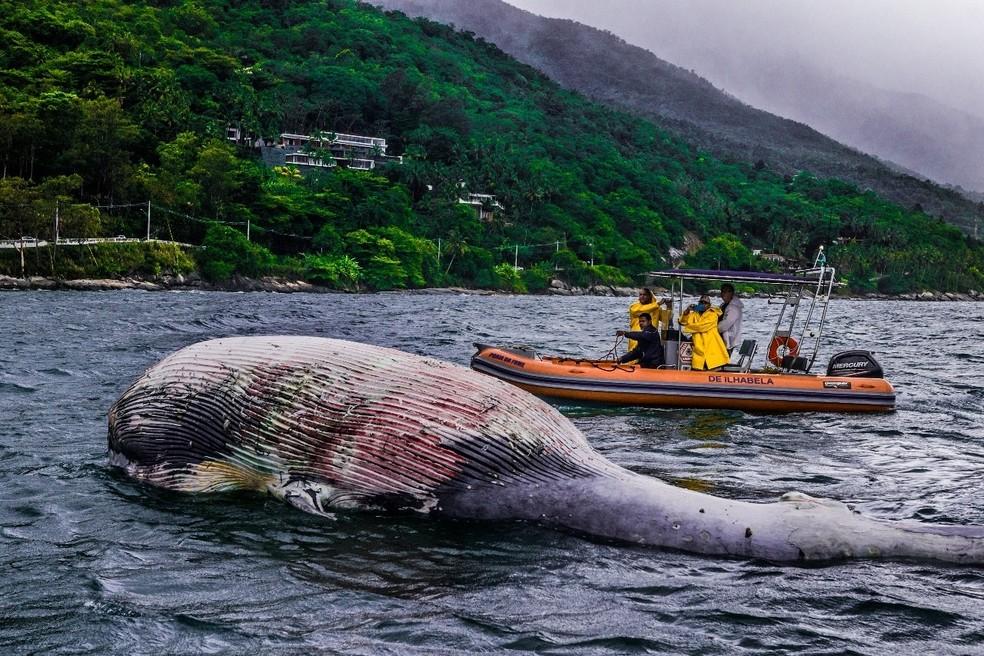 Animal ainda em idade juvenil tem 12 metros (Foto: Divulgação/Prefeitura de São Sebastião)
