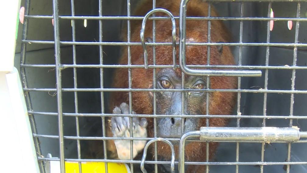 Animal foi tratado por uma veterinária parceira do projeto Quelônios da Amazônia. — Foto: Rede Amazônica/ Reprodução
