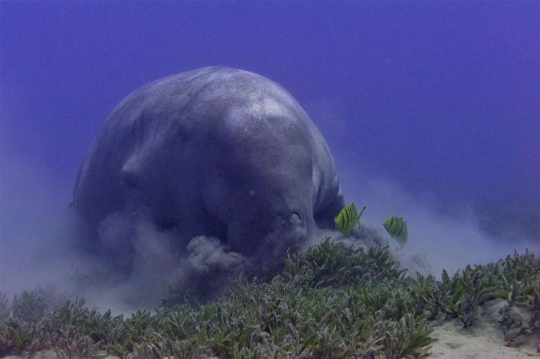 Hungry Dugongs Have No table Manners, de Matteo Santon (Foto: Creative Commons)